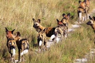 Savuti (Botswana) Wild dogs