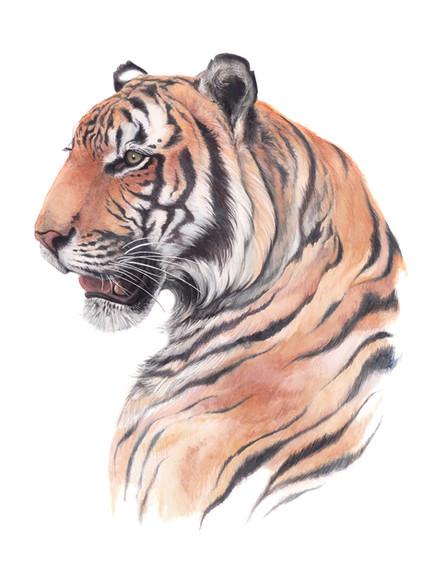 TIGER PORTRAIT 2