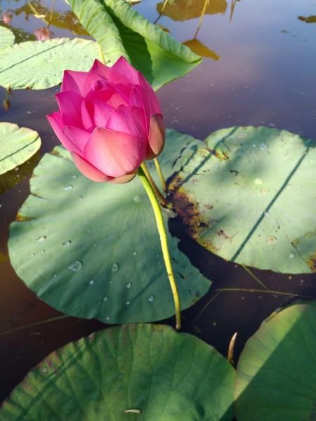 На озере лотосов