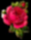 rose-pink-botanical-clipart-digital-png.