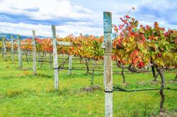 vines taken in the Granite Belt wine reg