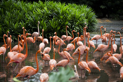 Flamingo farm, Singapore.