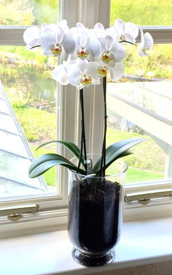 Planted Double Stemmed Orchid