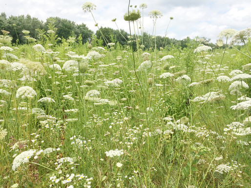 Field of Queen Annes Lace,