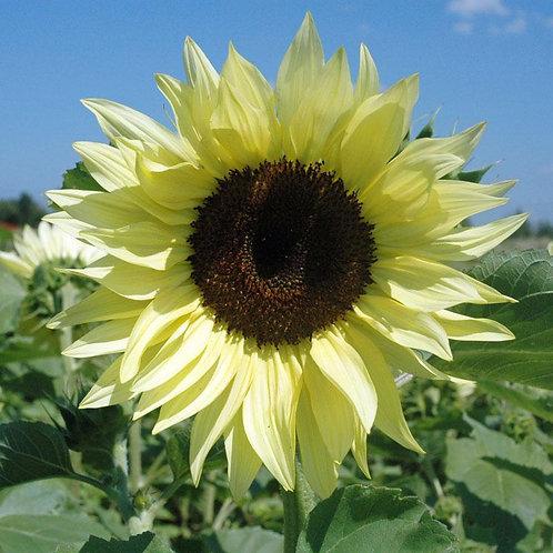 Buttercream Sunflower