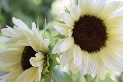 White Nite Sunflower