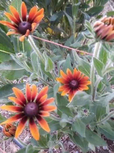 Autumn Colors Rudbekia