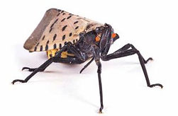 spotted-lanternfly-intro2.jpg