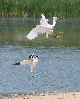 Avocet and little egret, Keyhaven