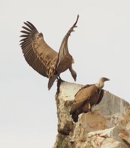 Griffon vultures, Extremadura