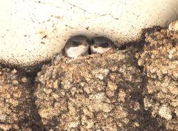 Crag martin chicks in nest, Vercors