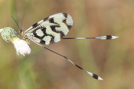 Posh mayfly, Abruzzo