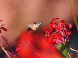 Humming-bird hawk moth, Ricquewihr