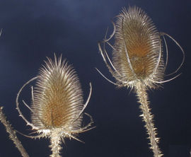 Teasels, solarised effect