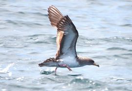 Cory's shearwater, off Sagres