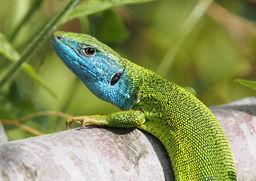 Blue-headed lizard, Kerkini