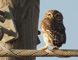 Little owl, Extremadura