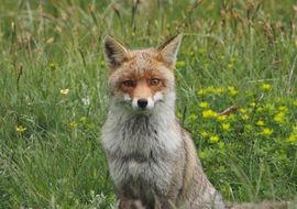 Young fox, Abruzzo