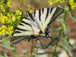 Scarce swallowtail, Paphos