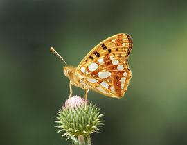Queen of Spain fritillary, Dordogne