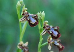 Mirror orchid, Pitillas