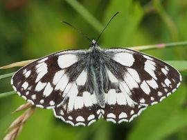 Marbled White, Rockhampton