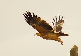 Spanish Imperial eagle, Extremadura