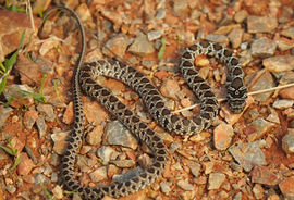 Whip snake, Extremadura