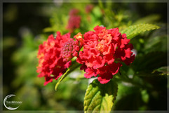 RED FLOWER w/ BORDER