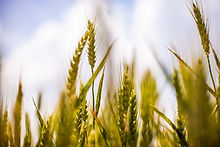 nature-field-agriculture-cereals.jpg