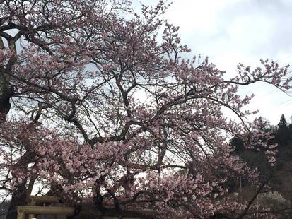 会津石部桜