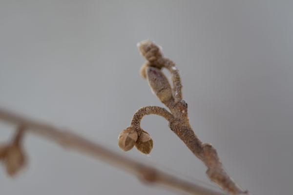 マンサクの花芽