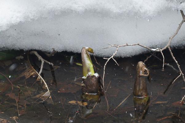 水芭蕉の芽