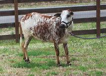 miniature zebu cow