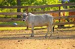 Zebu miniature cow
