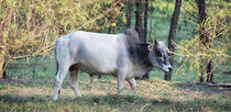 Grey Miniature Zebu Steer