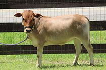 short cow miniature zebu