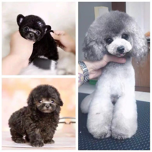Mini Poodle (Grey & Black)