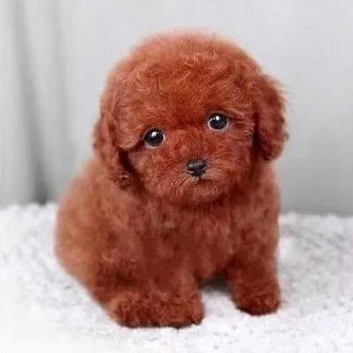 Teacup Poodle