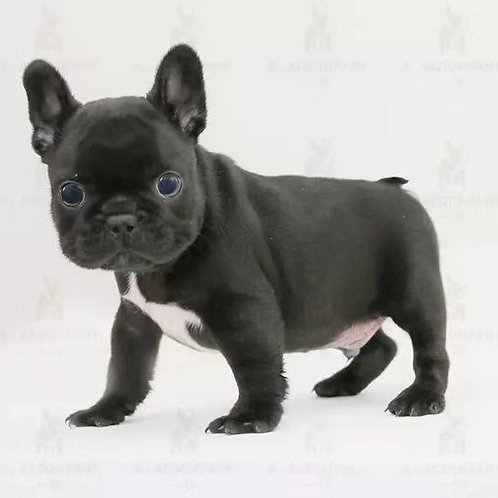 French Bulldog (Black , Cream)