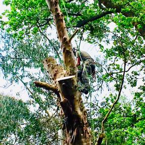The Treerangers team working safely in Surrey