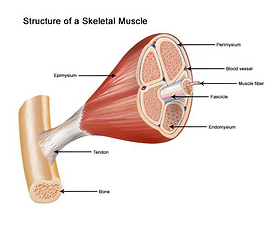 Muscle Strain.png