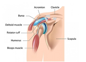 Shoulder anatomy with image of bursa..pn