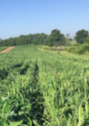 soybeans2.jpg
