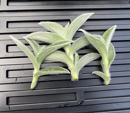 3 unrooted Cobweb Spiderwort/White Velvet/Tradescantia Sillamontana