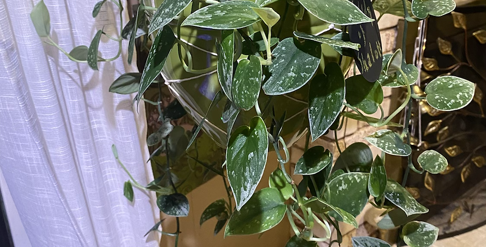 3 Node Cutting, Scindapsus Pictus Silvery Anne
