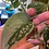 Thumbnail: 3 Node Cutting, Scindapsus Pictus Silvery Anne