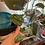 Thumbnail: 3 Node Cutting, Scindapsus Pictus Argyraeus/Silver Satin Pothos