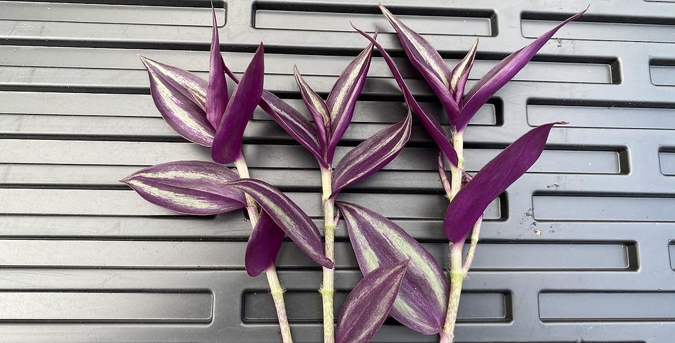 Silver Inch Plant/Wandering Dude/tradescantia zebrina cuttings.