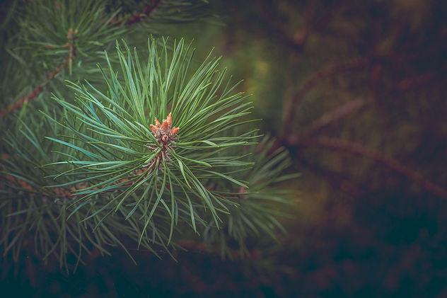 pine-463469.jpg
